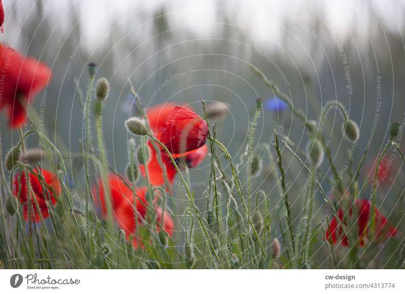 Mohnblüte am Feldrand von Kremmen kommend Natur rot Unschärfe im Hintergrund Pflanze Blume Sommer Außenaufnahme Blüte Farbfoto Mohnfeld Wiese Menschenleer