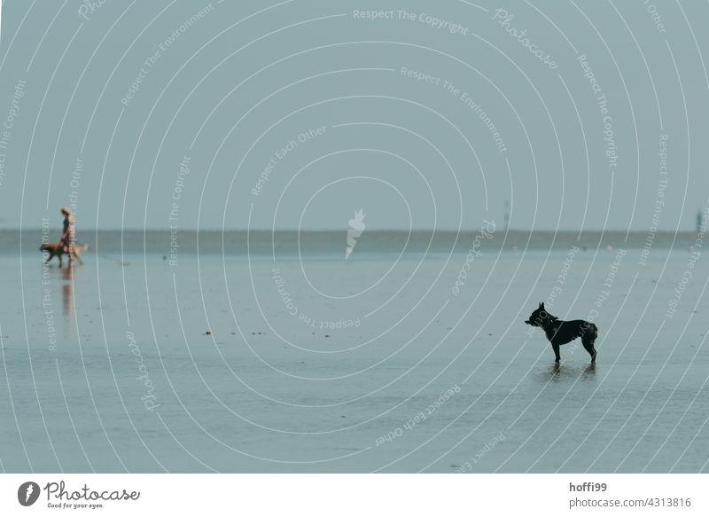der Hund steht bei auflaufendem Wasser im Watt Wattenmeer Silhouette Fell Haushund Wachsamkeit warten Nordseeküste Ebbe minimalistisch Minimalismus Küste Meer