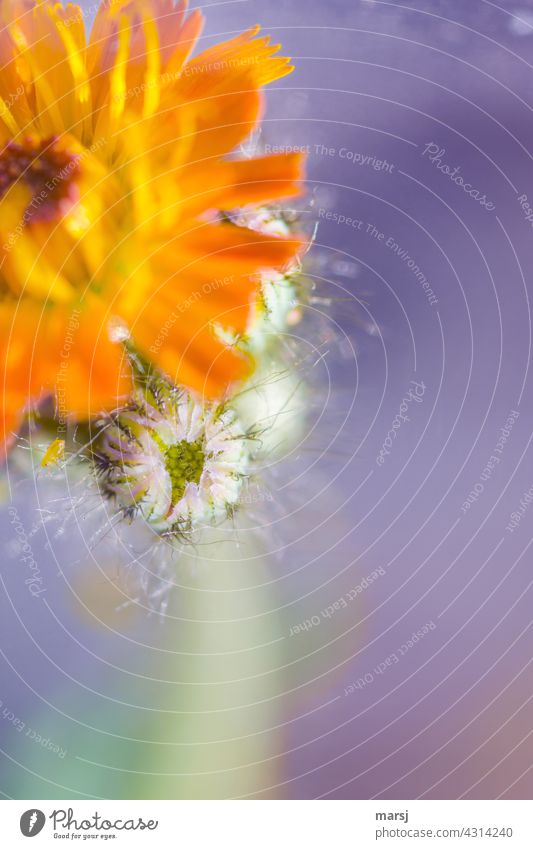 Blütenknospe des orange-roten Habichtskraut Orangerotes Habichtskraut orangefarben Blume Blühend Pflanze blühen Frühling Natur gelb Garten Makroaufnahme