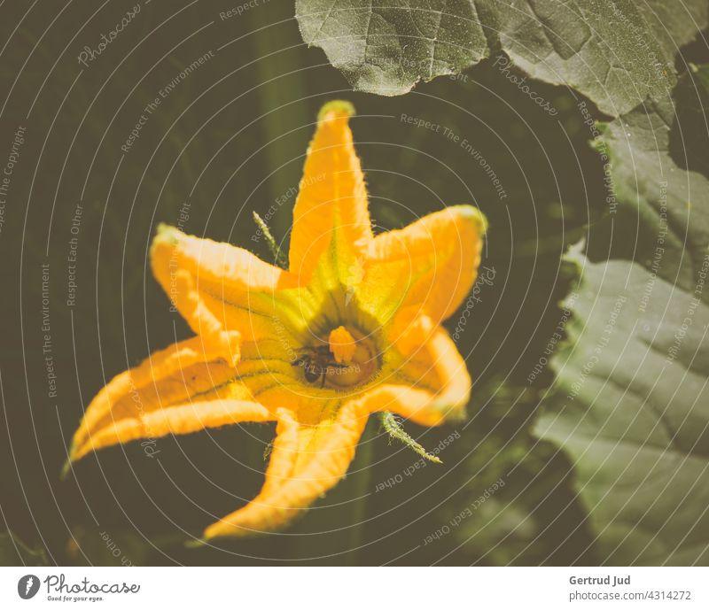 Offene, gelbe Kürbisblüte im Feld Blume Blumen und Pflanzen Blüte Farbe Gelb Natur Sommer Blühend Garten Farbfoto Außenaufnahme Nahaufnahme Blütenblatt