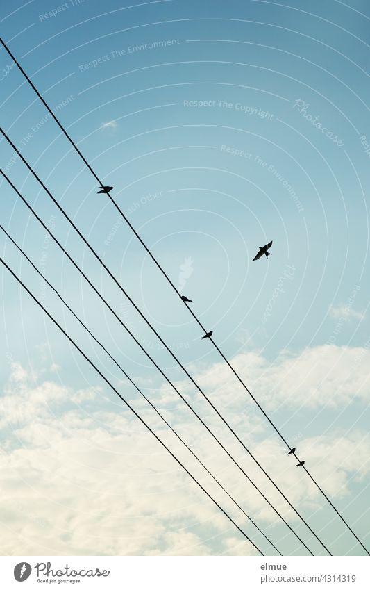 Fünf Stromleitungen mit fünf sitzenden und einer fliegenden Schwalbe vor leichtbewölktem Himmel / Flugbild Vogel Schönwetterwolken Dekowolken Sommer
