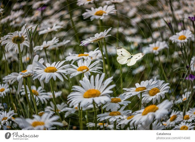 Der Kohlweißling zwischen den Margeriten ist kaum zu erkennen Natur Flora Fauna Insekt Tier Schmetterling fliegen bestäuben Blume Margarite Wiese Blumenwiese