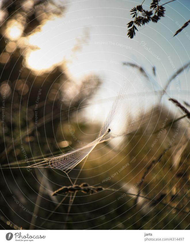 Spinnennetz bei Sonnenaufgang Tau Tautropfen Wassertropfen Makroaufnahme Außenaufnahme Natur Nahaufnahme Detailaufnahme Tropfen Schwache Tiefenschärfe