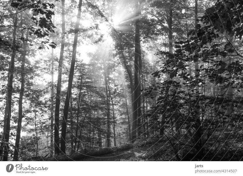 Sonnenstahlen bei Sonnenaufgang im Wald in Schwarzweiß Sonnenstrahlen Schwarzweißfoto Baum Natur Außenaufnahme Sonnenlicht Licht Landschaft Gegenlicht