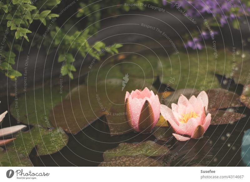 kleiner Teich mit Seerosen Blume Garten Natur Rosa Wasser Blatt Seerosenblatt Bokeh Pflanzen
