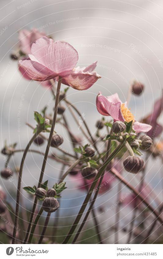 Herbstanemonen Natur Pflanze Himmel Sommer Blume Anemonen Blütenknospen Garten Blühend Duft leuchten Wachstum natürlich gelb grau grün rosa Verliebtheit Treue