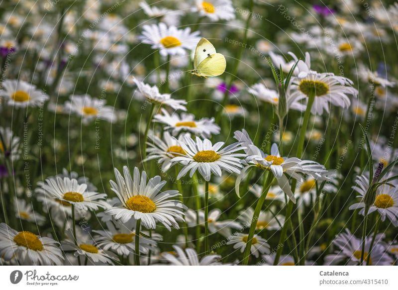 Kohlweißling und Margariten Gelb Grün Weiß Tageslicht blühen duften verblühen Wiesenblume Blumenwiese Schmetterling Tier Natur Flora Fauna Insekt Garten fliegen
