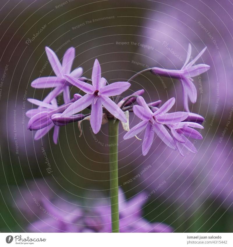 romantische rosa lila Blumen im Garten im Frühling Blütenblätter Pflanze geblümt Flora Natur natürlich dekorativ Dekoration & Verzierung Schönheit