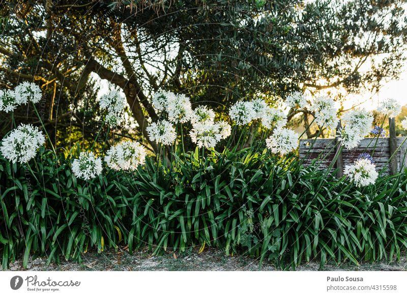 weiße Blumen Garten Gegenlicht Hintergrund Sonnenuntergang Blüte Blühend Natur Tageslicht natürlich aufblühen natürliches Licht natürliche Farbe Frühling