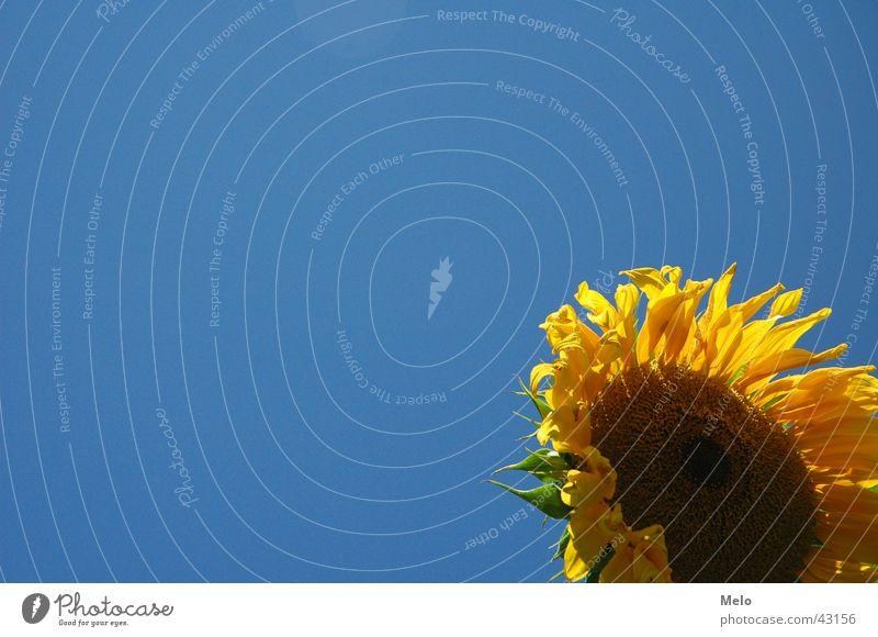 sunflower Himmel Sonne blau Blatt gelb Blüte Sonnenblume