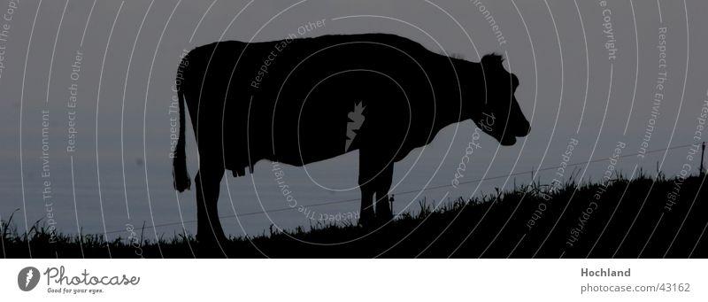 Kuh in der Abenddaemmerung schwarz Bodenbelag Symbole & Metaphern Schwanz