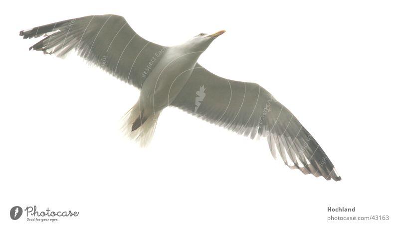 Scharfe Möve Vogel Spannweite Schnabel Flügel Bewegung Feder Himmel im Flug Vogelflug