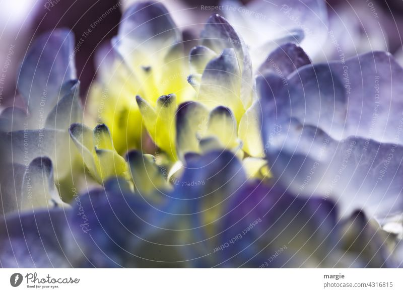 Blüte einer Hortensie Blume Makroaufnahme Pflanze gelb Nahaufnahme Blütenblatt Unschärfe Detailaufnahme Farbfoto Menschenleer natürlich schön Außenaufnahme