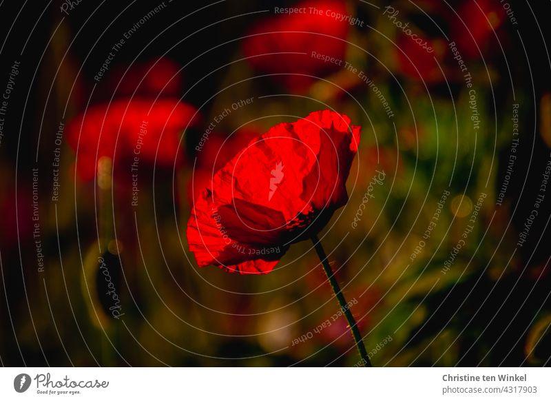 Mohn im Gegenlicht Mohnblüte Papaver rhoeas Klatschmohn Licht rot Sommer schön Blühend Blumenwiese Bienen Umwelt Umweltschutz Klimaschutz Mohnliebe