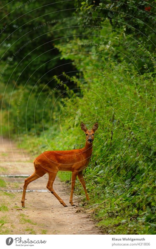 Wildwechsel Natur schön grün Pflanze Sommer Tier Wald Umwelt feminin gehen braun Wildtier laufen beobachten Fell Tiergesicht