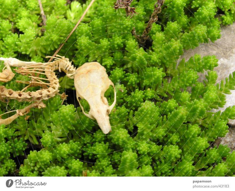 skeleton of a mouse Skelett grün Wirbelsäule Vergänglichkeit Rippen Schädel abgenagt