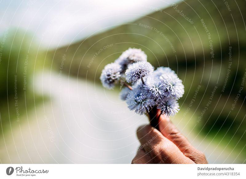 Person mit Strauß blühender Blumen Haufen Kugelblume trichosantha Blütenknospen Blütenblatt Natur Blütezeit Aroma Pflanze duftig aromatisch geblümt natürlich
