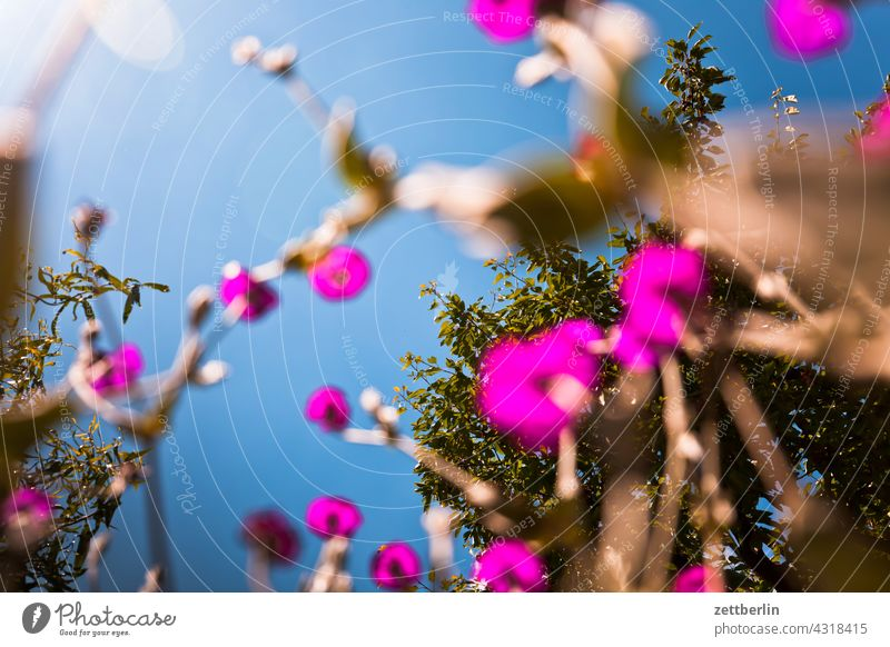 Kronenlichtnelke und Kirschbaum aus der Vogelperspektive ast erholung erwachen ferien frühjahr frühling frühlingserwachen garten himmel kleingarten