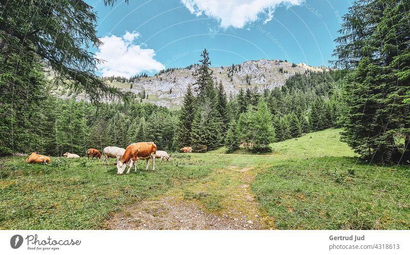 Kühe auf der Almweide Landschaft Natur Tier Wandern Farbfoto Außenaufnahme Umwelt Berge u. Gebirge Felsen Alpen Sommer Schönes Wetter Ferien & Urlaub & Reisen