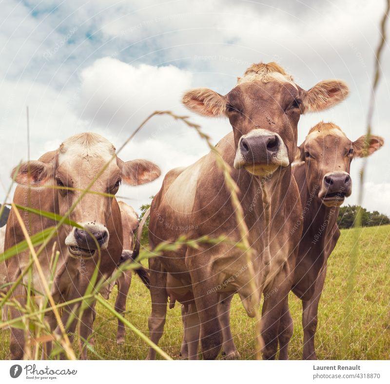 Aubrac Kühe in der Natur Frankreich Ackerbau Tier Rindfleisch bovin Land Kuh Bauernhof Landwirtschaft Ackerland Feld Färse Viehbestand Weide ländlich