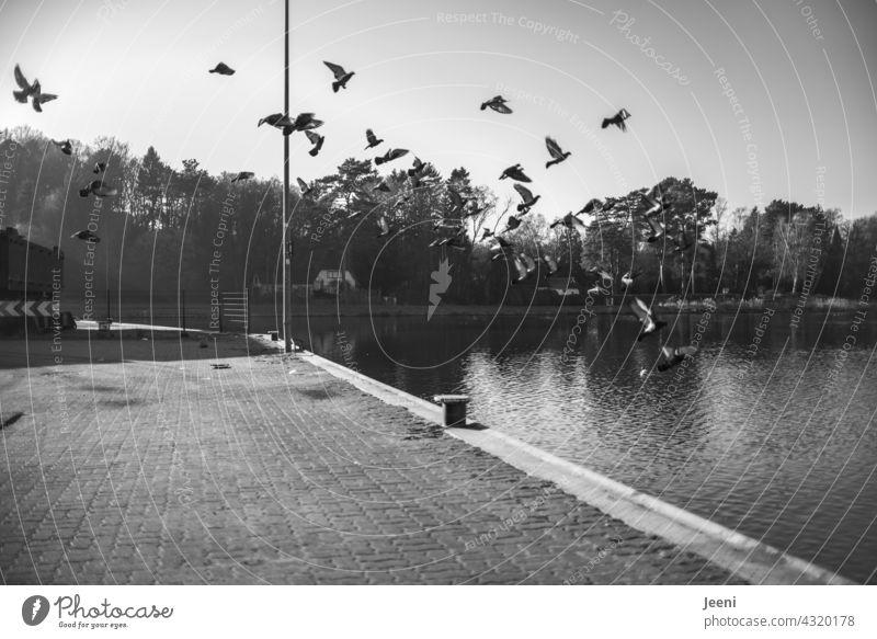 Erschrockene Tauben Flug Vogel Tier fliegen erschrocken aufgescheucht Himmel Flügel Vogelschwarm vogelschar Schwarm Tiergruppe Schwarmverhalten Vögel Freiheit