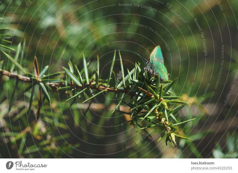 Ruhige Frühlingsszene mit grünem Haarschmetterling in einem immergrünen Wald auf einem Wacholderstrauch, Tirol, Österreich Schmetterling Grüner Haarbüschel