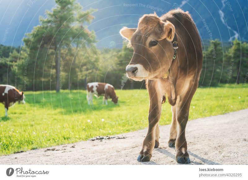 Niedliches sonnenbeschienenes Kalb auf einer Almwiese mit grasenden Kühen in den Bergen, Mieming, Tirol, Österreich Kuh Wade Braunvieh Tier Baby Natur braun