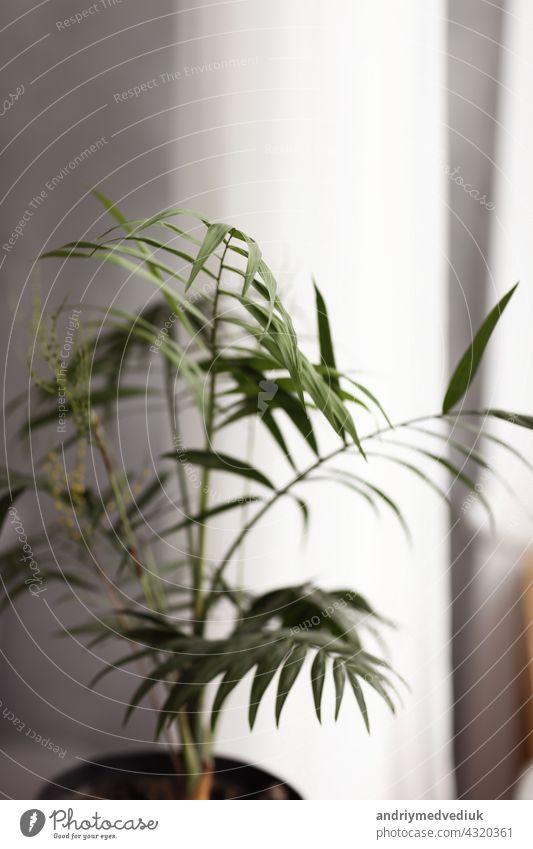 Pflanzen im Hausgarten. Pflege von Grünpflanzen. Große grüne Palme im Korb. Sprühen von Wasser auf Blätter. Wasser an Pflanze geben. Pflanze Palme im Wohnzimmer. selektiver Fokus