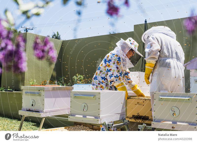 Imker kontrolliert Bienenstock und Wabenrahmen Frau Rahmen Lebensmittel Sommer Natur Frühling Bauernhof Menschen Bienenzucht Ackerbau Liebling Bienenkorb