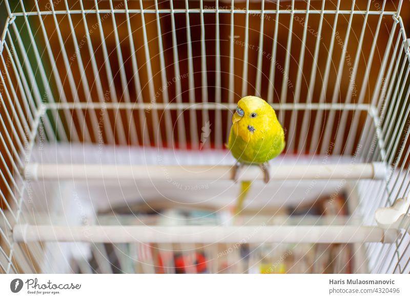 Sittich Wellensittich stehend auf der Sitzstange in seinem Käfig Tier Baby Hintergrund Schnabel schön Vogel Vogelkäfig Vögel fliegen Born züchten Käfigkampf