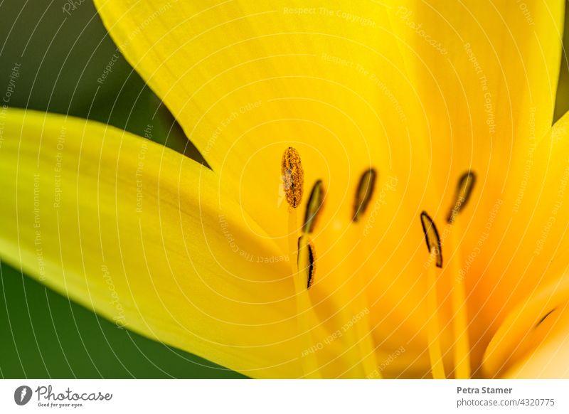 Staubblätter von einer Blüte Pollen gelb Staubbeutel Blume Pflanze Blühend Detailaufnahme Blumendetail Sommerblüher