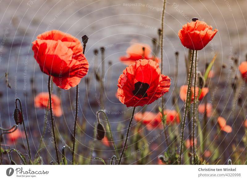 Mohn / Klatschmohn / Papaver rhoeas Mohnblüte rot Blühend Sommer schön Wildblumen Umwelt Umweltschutz Mohnliebe Insekten Klimaschutz frühmorgens wunderschön