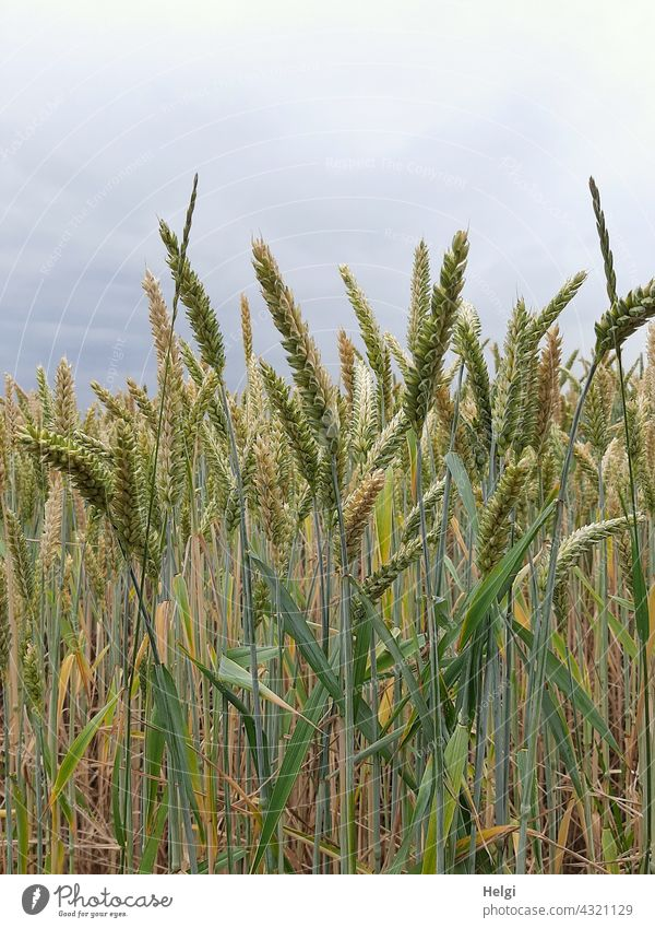 unreife Weizenähren in einem Kornfeld Ernährung Lebensmittel Weizenfeld Ähren Sommer Himmel Wolken Feld Getreide Landwirtschaft Getreidefeld Nutzpflanze