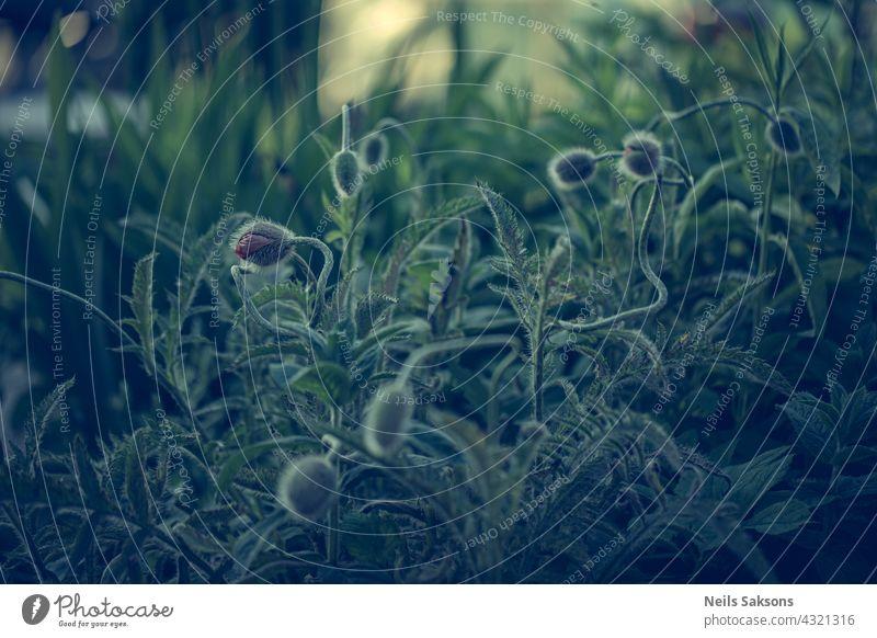 Mohnblumen, die jemanden zum Beißen suchen. Makro dekorativ Blatt Tapete Leben blau farbenfroh Pflanze Grafik u. Illustration Design Dekoration & Verzierung
