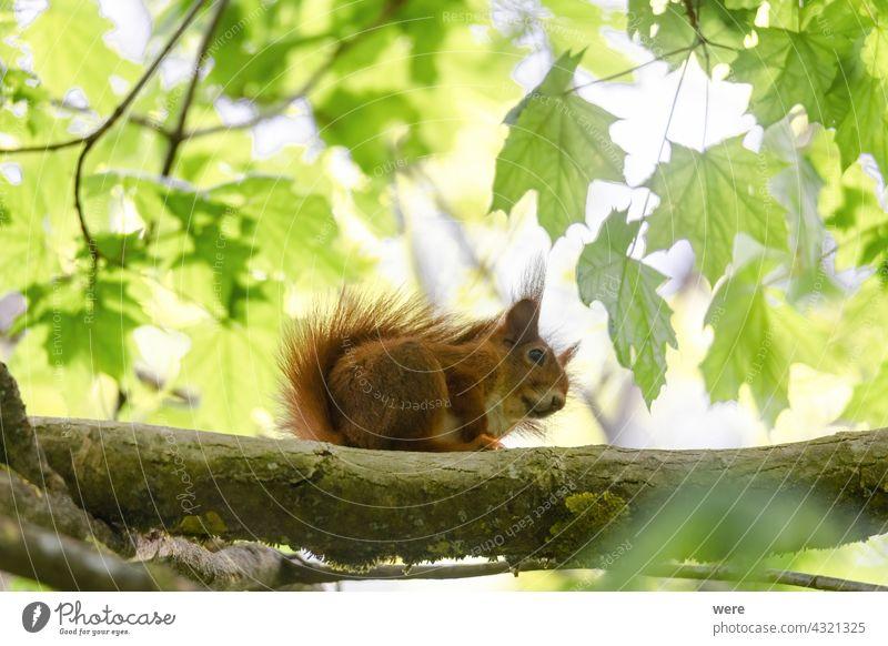 Ein Eichhörnchen sitzt zwischen grünen Blättern auf einem Ast Tier Hintergrund Europäisches Braunes Eichhörnchen Sciurus vulgaris Tier-Thema