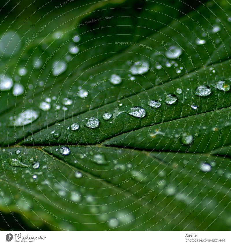 Da haben wir den Salat! | verregneter August Blatt Wassertropfen grün Perlen abperlen Wasserperlen Urelemente Tropfen Zaubernuss Hamamelis Detailaufnahme