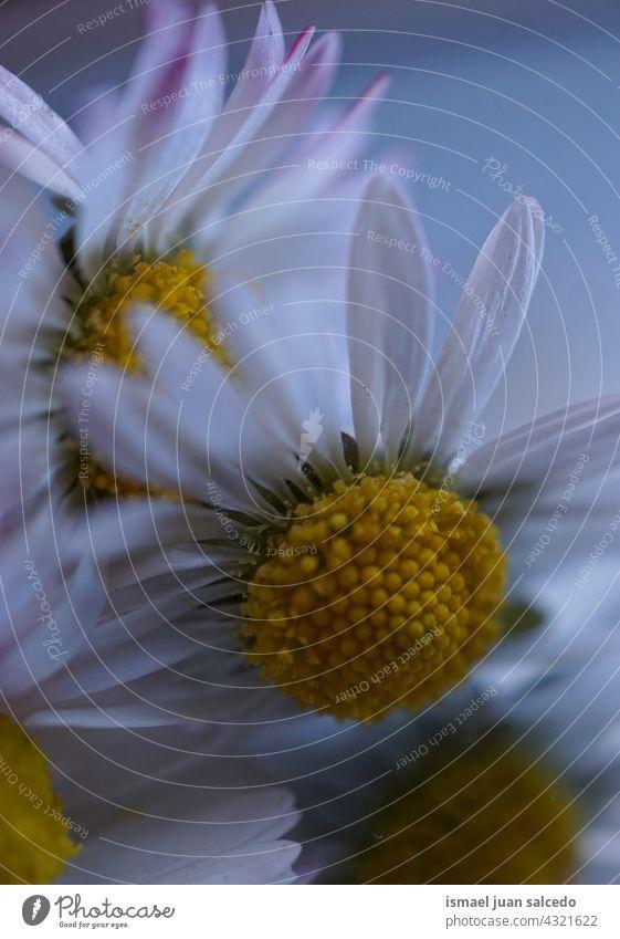 Romantische weiße Gänseblümchen im Frühling Blume Blütenblätter Pflanze Garten geblümt Flora Natur dekorativ Dekoration & Verzierung romantisch Schönheit