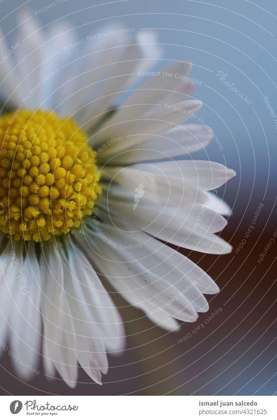 Romantische Gänseblümchenblüte im Frühling Blume weiß Blütenblätter Pflanze Garten geblümt Flora Natur dekorativ Dekoration & Verzierung romantisch Schönheit