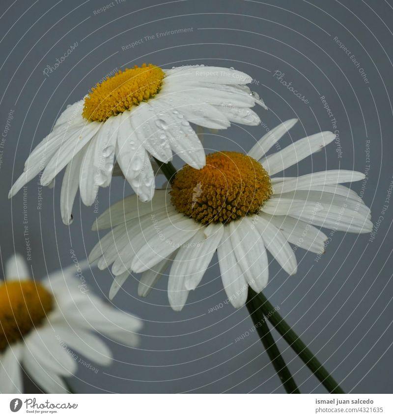 romantische weiße Gänseblümchen Blume im Garten im Frühling Blütenblätter Pflanze geblümt Flora Natur dekorativ Dekoration & Verzierung Schönheit