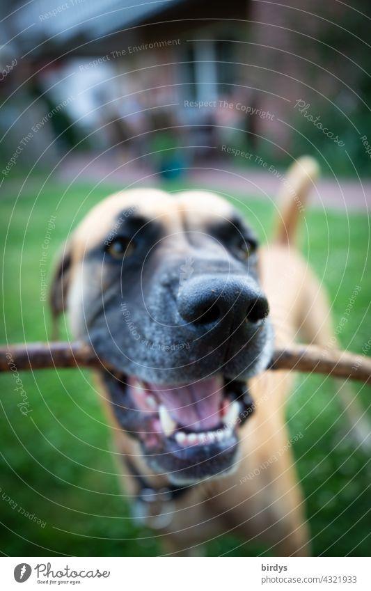 Hund mit einem Stock im Maul. Aufforderung zum Spiel. Nahaufnahme, Tierportrait, schwache Tiefenschärfe Zähne Hundegesicht Gebiss Haustier Tierporträt