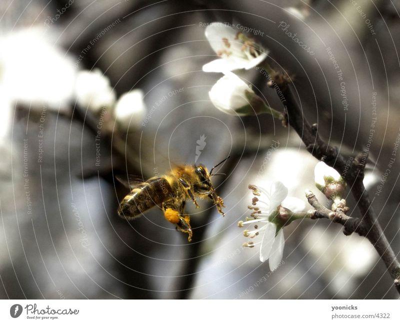 Bee Natur Insekt Biene