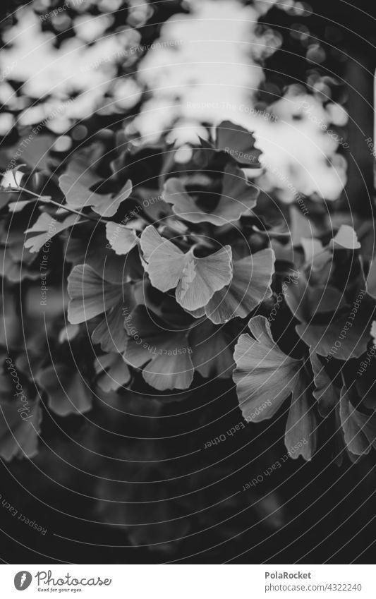 #A# Ginkgo ginkgo Ginkgoblatt Ginkgobaum schwarz-weiss Blätter Baum Blatt Natur Pflanze grün Farbfoto Außenaufnahme