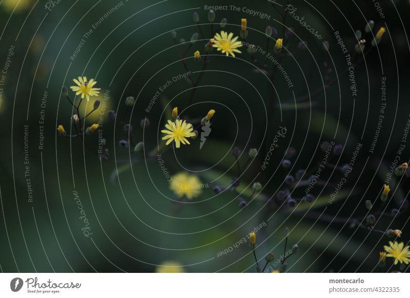 Yellow Dots gelb Pflanze Wildpflanze Natur Grünpflanze Blatt klein weich natürlich Farbfoto Blume Umwelt Außenaufnahme frisch Schwache Tiefenschärfe Wachstum