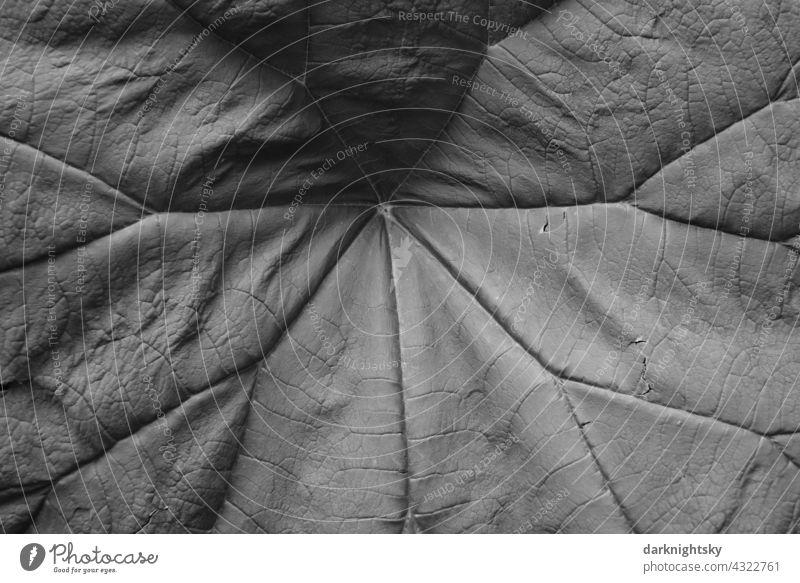 Großes Blatt mit Adern im Detail als massiver Hintergrund für Natur Aufnahmen und organische Themen frische frisches großes grünes graues geben gabe Salat