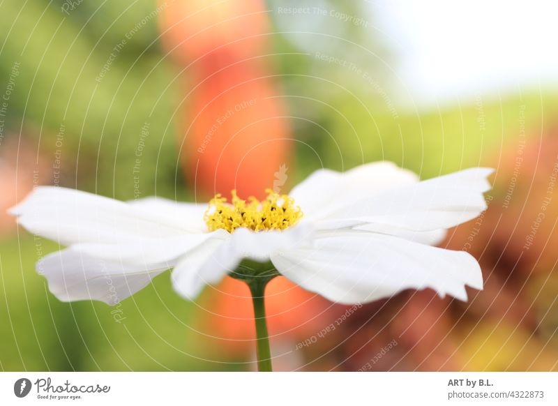 weiße Herbstanemone jahrezeit herbst blume blüte herbstanemone geöffnet offen aufgeblüht hintergrund unscharf