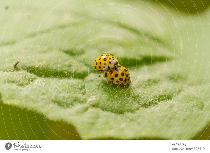Käferliebe / Käferpaarung Insekt Paarung Makroaufnahme Außenaufnahme Nahaufnahme Schwache Tiefenschärfe Glück krabbeln Textfreiraum oben Textfreiraum links
