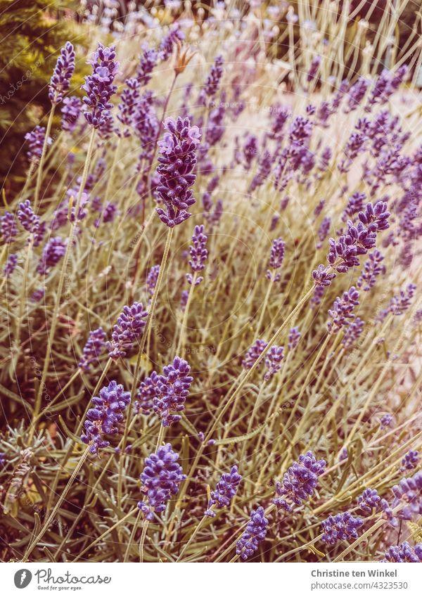 duftender Lavendel an einem sonnigen Tag im Sommer lila Natur violett Duft sommerlich Blühend Gartenpflanzen Pflanze Blüte Unschärfe Sommergefühl