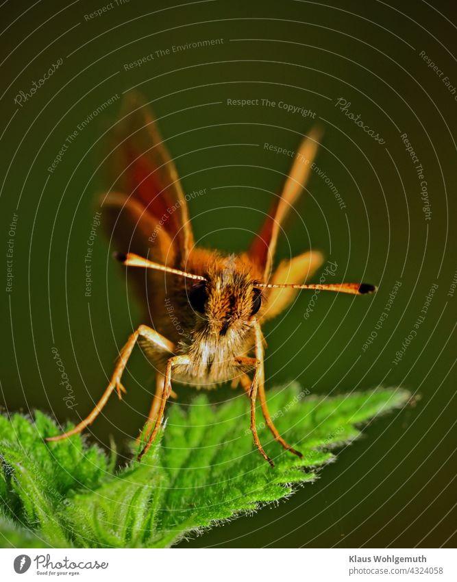Dickkopffalter sitzt auf einer Brennessel Schmetterling Fühler Komplexauge Nessel Makro Insekt Flügel Nahaufnahme Farbfoto Tierporträt Schwache Tiefenschärfe