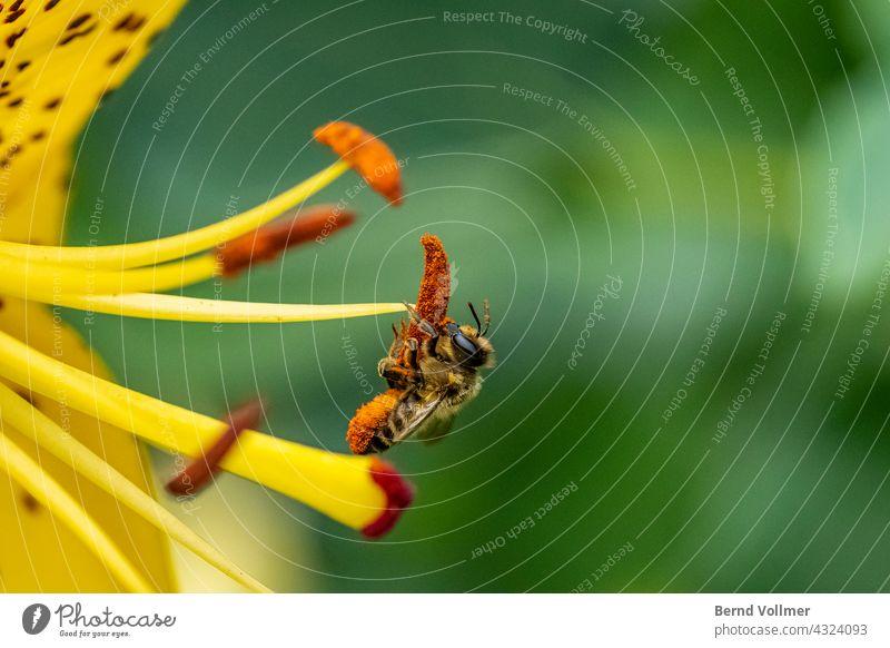 Biene auf Lilie Bee Lilium Pollen Blütenpollen Biene sammelt Pollen