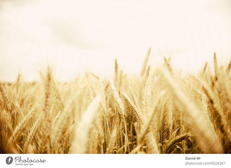 Roggenfeld - Roggen im Sonnenlicht Nahrung Ähren Kornfeld Landwirtschaft Feld Wachstum Ackerbau Ernte golden Nutzpflanze Lebensmittel
